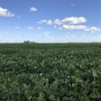 35 has agrícolas excelentes zona Las Flores